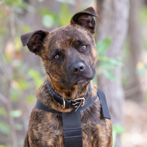 Oscar - Staffy x Kelpie x Australian terrier Dog