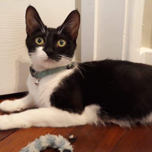 Alaine  - Domestic Short Hair Cat
