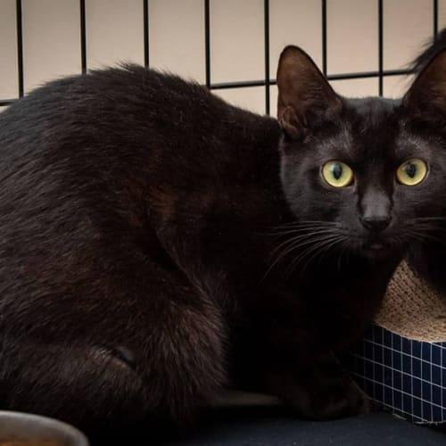 1682 - Mazikeen - Domestic Short Hair Cat