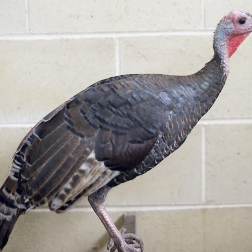 Rascal -  Turkey