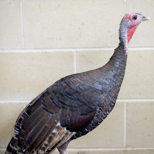 Sass -  Turkey