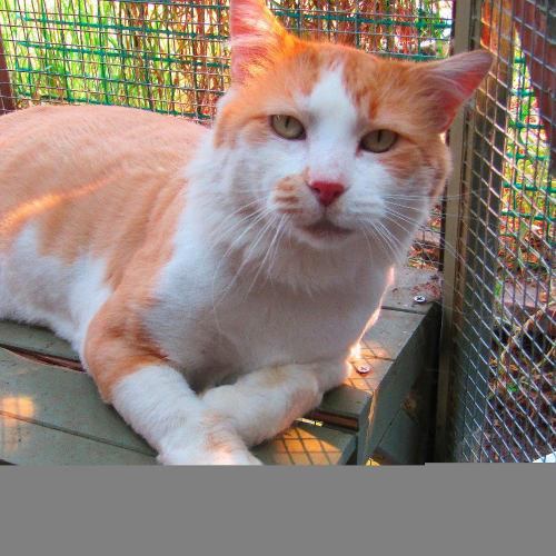 Bumper - Domestic Medium Hair Cat