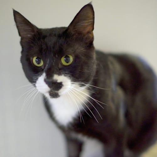 Milosh - Domestic Short Hair Cat