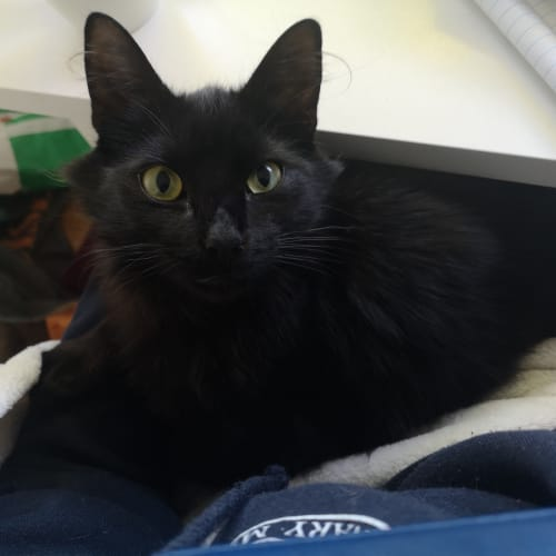 Sooty - Located in Preston - Domestic Medium Hair Cat