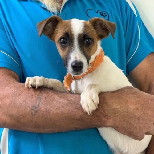 Jock - Miniature Fox Terrier Dog