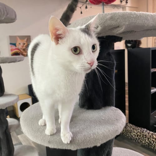Holden – Meet me at Neko HQ in Preston - Domestic Short Hair Cat