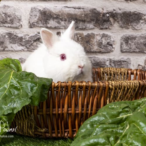 Jingles - Jersey Wooly Rabbit