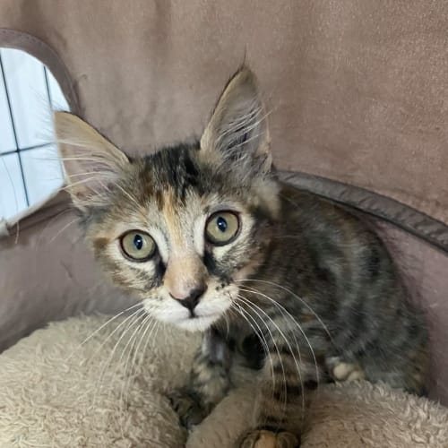 Rose - Meet me at Vets on Parker in Templestowe - Domestic Short Hair Cat