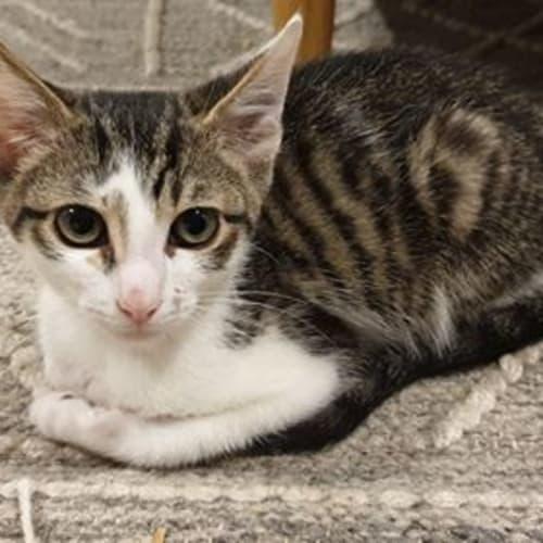 Bean - Domestic Short Hair Cat