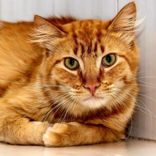 2179 - Bushy - Domestic Medium Hair Cat