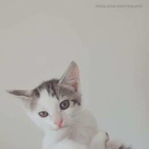 Spot - Domestic Short Hair Cat