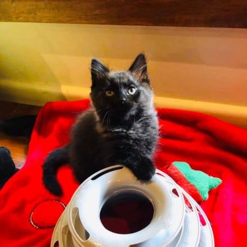 Valentino  - Domestic Medium Hair Cat