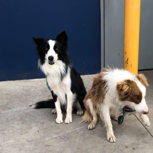 Marshall & Dusty - Border Collie Dog