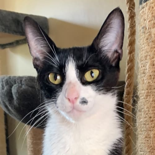Lucy Lou - Domestic Short Hair Cat