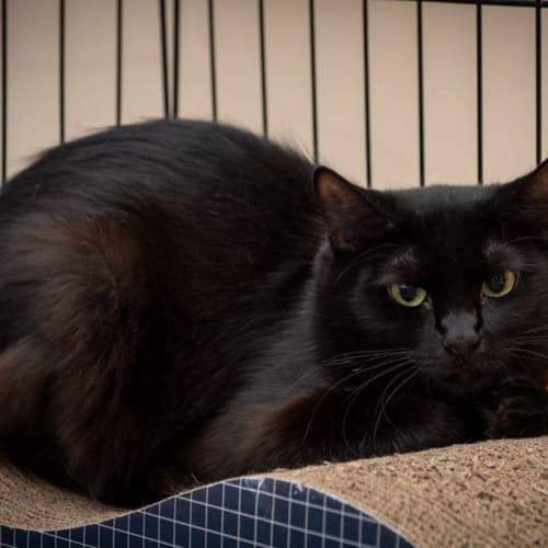1683 - Naevia - Domestic Short Hair Cat