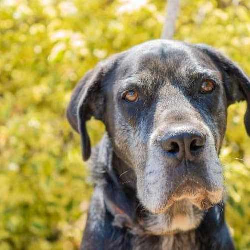 Riddick - Great Dane x Mixed Breed Dog