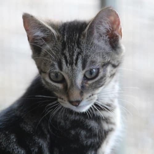 Hade Poseidon Kida - Domestic Short Hair Cat
