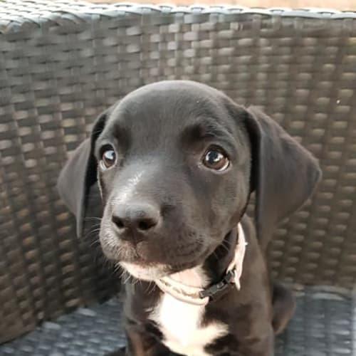 Rosetta - Bull Arab Dog