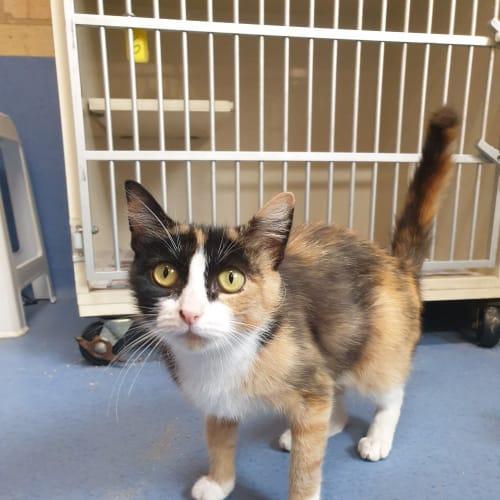 Pippa - Domestic Medium Hair Cat