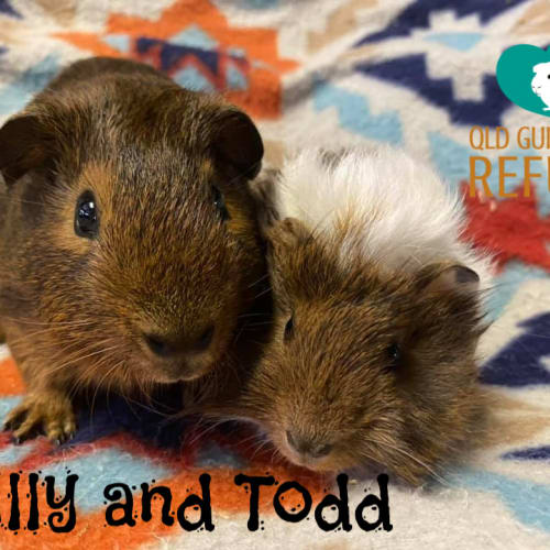 Billy and Todd (unsuitable for children under 13) -  Guinea Pig
