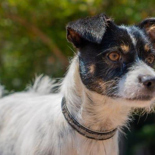 Mateau - Fox Terrier Dog