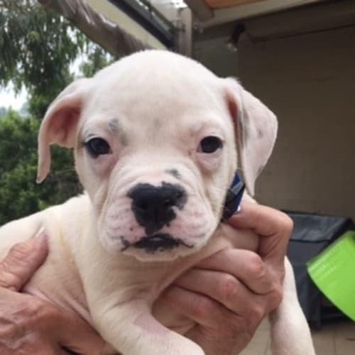 Arnie - American Bulldog