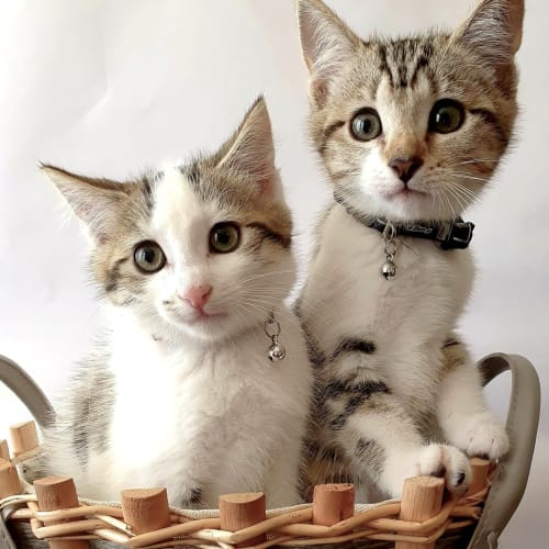 Luci and Levi  - Domestic Short Hair Cat