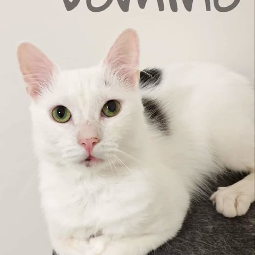Domino - Domestic Medium Hair Cat