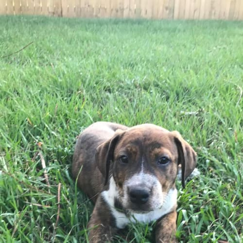 Lee - Australian Cattle Dog x Mastiff Dog