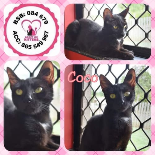 Coco - Domestic Short Hair Cat