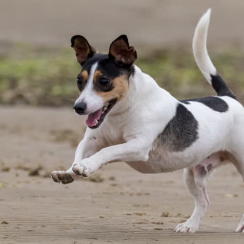 Jersey - Jack Russell Terrier Dog