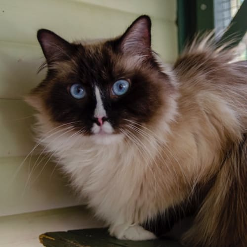 Holly & Ivy - Ragdoll Cat