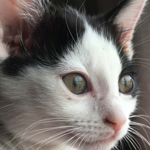 Liam - Domestic Short Hair Cat