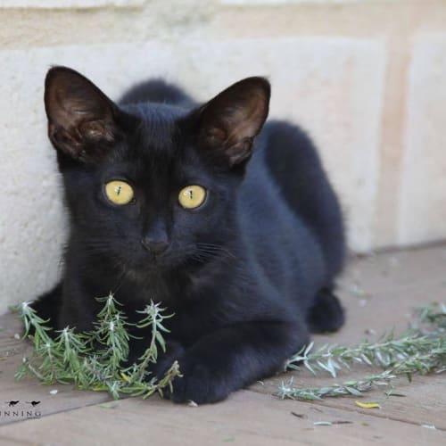 1817 - Mickey - Domestic Short Hair Cat