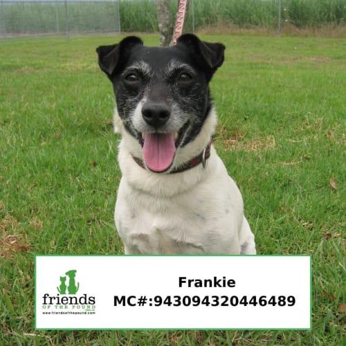 Frankie - Miniature Fox Terrier Dog