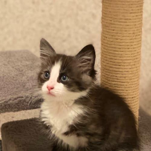 Levi 😇 - Domestic Medium Hair Cat