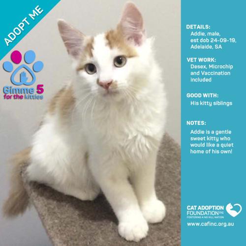 Addie - Domestic Medium Hair Cat