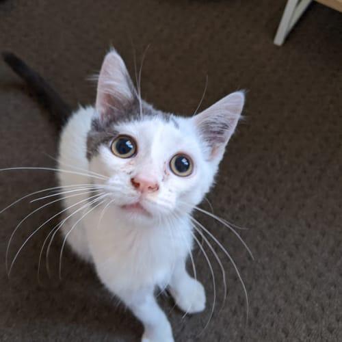Raphael - Located in Preston - Domestic Short Hair Cat
