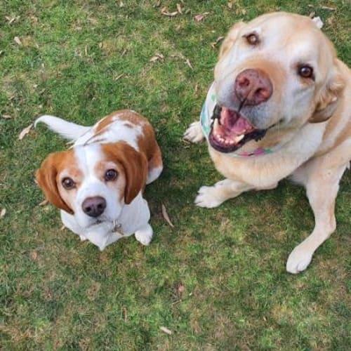 Isobelle  917671 - Labrador Dog