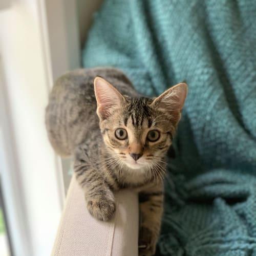 Star ~ 4 month old female kitten - Domestic Short Hair Cat