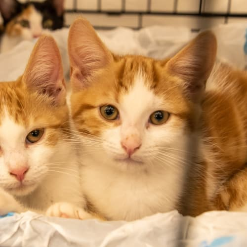 Alden - Domestic Short Hair Cat