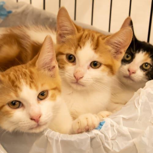 Ahmedri - Visit Me at PetStock Balcatta! - Domestic Short Hair Cat