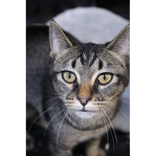 Alissa & Lizzy - Domestic Short Hair Cat