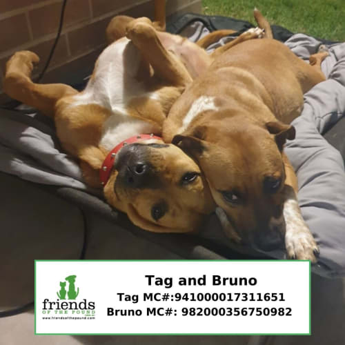 Tag and Bruno - Bullmastiff x Golden Retriever x Staffordshire Bull Terrier x Red Heeler Dog