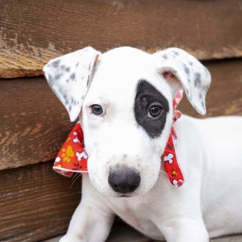 Logan ~ Great Dane x Bull Terrier puppy - Great Dane x Bull Terrier Dog