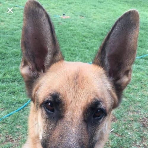 Axle - German Shepherd Dog