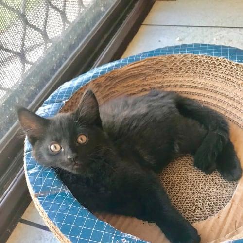 Thunder - Domestic Medium Hair Cat