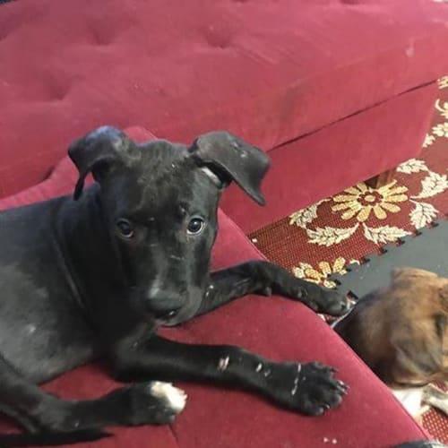 Tinsel - Mastiff x Staffy Dog