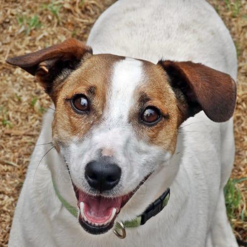 Churchill - Jack Russell Terrier Dog