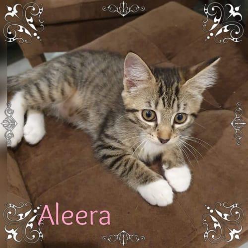 Aleera - Domestic Short Hair Cat